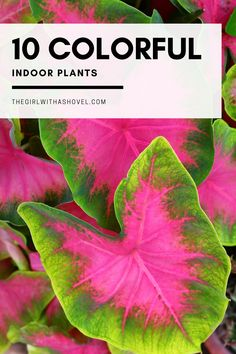 Looking for something to brighten up your space?! Check out this list of 10 colorful indoor plants! Add some color to your home! Colorful Indoor Plants | Colorful Indoor Plants Houseplant | Colorful Indoor Plants Low Light | Small Colorful Indoor Plants | Colorful Indoor Plants Living Room | Best Colorful Indoor Plants | Red Colored Indoor Plants | Multi Colored Indoor Plants | Colorful House Plants | Colorful House Plants Indoor | #houseplantlove #colorfulhouseplants Buy Succulents, Colorful Succulents, Planting Succulents, Succulent Planters, Hanging Planters, Succulents Garden, Indoor Plants Low Light, Best Indoor Plants, Indoor Herbs