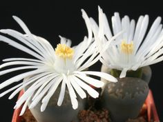 Lithops salicola – Living Stones - See more at: http://worldofsucculents.com/lithops-salicola-living-stones