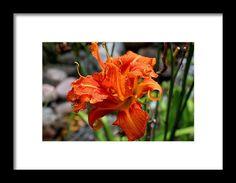 lily, orange, flower, nature,bloom, blossom, macro, michiale schneider photography