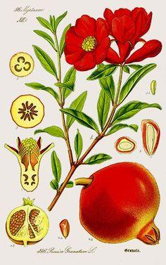 Grenadier (Punica granatum)  Remèdes de Grand-Mère