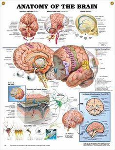 Anatomy of the Brain anatomy poster depicts base and right side views of arteries of the brain as well as venous sinuses.
