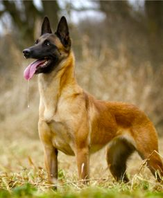 Malinois Belga, Pastor-belga Malinois, Malinois Shepherd, War Dogs, Smartest Dog Breeds, Dog Breeds List, Military Working Dogs, Military Dogs, Belgian Shepherd