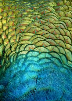 mer-de:    Peacock Back