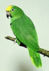 I had a big parrot like this once. Her name was 'Evergreen'. She flew out of her cage and disappeared. Tropical Birds, Exotic Birds, Colorful Birds, Amazon Birds, Amazon Parrot, Parrot Pet, Parrot Toys, Animals And Pets, Cute Animals