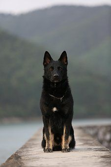 German Shepherd dogs have a wolf-like appearance. They look giant and muscular. The strength level in this breed is mind-blowing. Cute Baby Dogs, Cute Dogs And Puppies, Big Dogs, White Puppies, Baby Puppies, Doggies, Black German Shepherd Puppies, Black German Shepard, Giant German Shepherd