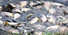 Feira do peixe em Ponta Grossa coloca 50 t de pescado à venda