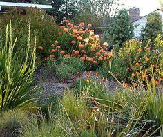 Fynbos garden - Meadow Garden, Australian Native Garden, Garden Ideas South Africa, Australian Plants, Sustainable Garden, Garden Pavilion, Spanish Garden, Fynbos, Waterwise Garden