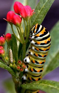 Milkweed is the only host plant for monarch butterflies. It's also a food source for their caterpillars.