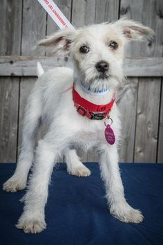 Bridgewater, NJ - Wirehaired Fox Terrier/Beagle Mix. Meet Daisy ...