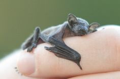 All baby animals are cute. Even baby bats :) Cute Baby Animals, Funny Animals, Animal Babies, Odd Animals, Exotic Animals, Strange Animals, Unusual Animals, Beautiful Creatures, Animals Beautiful
