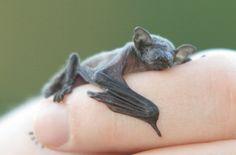 Baby bat