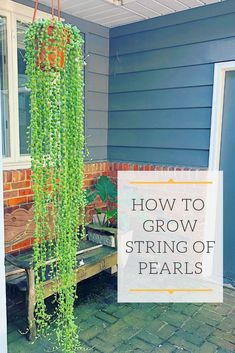 How Not to Kill String of Pearls Learn everything you need to know to grow this beautiful trailing succulent Everything from light water soil blends fertilizer propagation and how NOT to kill them Succulent Gardening, Cacti And Succulents, Planting Succulents, Garden Plants, Container Gardening, Indoor Plants, House Plants, Planting Flowers, Propagating Succulents