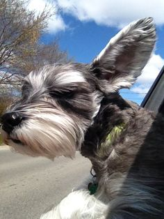 Schnauzers ~ ✞ ♥ I asked God for a Best Friend. He gave Me a Schnauzer. Schnauzers, Miniature Schnauzer Puppies, Schnauzer Puppy, Puppies And Kitties, Cute Puppies, Cute Dogs, Doggies, Baby Animals, Cute Animals