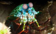 Mantis Shrimp - These marine crustaceans are also known as prawn killers, sea locusts and thumb splitters. The Mantis Shrimp kill their prey by either spearing, stunning or dismembering them.