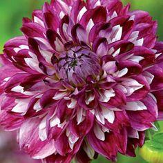 Optic Illusion Dahlia Beautiful Flowers Pictures, Flower Pictures, Love Flowers, Chrysanthemum Morifolium, Rare Roses, Herbaceous Perennials, Dahlia Flower, Zinnias, Trees To Plant