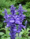 Salvia  Mannequin™ Bright Blue