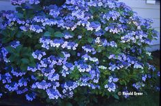 hydrangea blue wave - Google Search