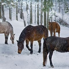 Horses stand together in a snow covered pasture Photo By: Dan Kosmayer  FREE - Embed this image and 2 million others, it's easy, legal and free! @Kozzi Images  #horse #winter #animal #forest #wild