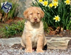 Chunk – Labrador Retriever – Yellow Puppy www.keystonepuppies.com  #keystonepuppies  #yellowlab