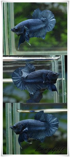 """Summary: Betta Fish also known as Siamese fighting fish; derives its name from the Thai phrase 'ikan bettah"""". Mekong basin in Southeast Asia is the home of Betta Fish and is considered to be one of the best aquarium fishes. Best Aquarium Fish, Betta Aquarium, Planted Aquarium, Betta Fish Care, Beta Fish, Siamese Fighting Fish, Pretty Animals, Fresh Water Tank, Fish Tanks"""
