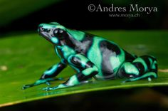Green-Black-Poison-Dart Frog002.tiff | Andres Morya Photography
