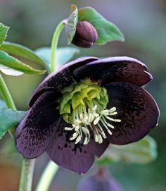 Hellebore - Dark Coloration: H. x hybridus 'Blue Lady'. Though a relatively late bloomer (typically from mid-March to early April), this Lenten rose boasts a mysterious blue-purple hue that almost reads black.