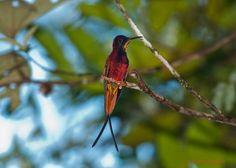 Gallery of Crimson Topaz (Topaza pella) | the Internet Bird Collection (IBC) | HBW Alive
