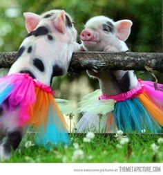 The piggy is doing ballet!