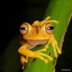 https://flic.kr/p/XYBXF7 | Almendariz's treefrog, Hypsiboas almendarizae | from Tamandua Reserva Flores, Ecuador: www.flickr.com/andreaskay/sets/72157671181153332