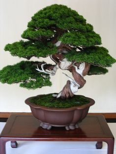 Bonsai (shimpaku, or juniper), taken at a shrine; from heidi, via Flickr