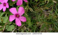 Lilac Flowers In The Garden. Five Petal Flower  #flowers #flores #photostock  #stockphoto