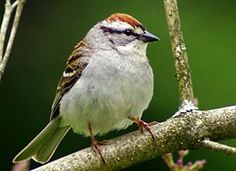 Chippy the Chipping Sparrow Ch4