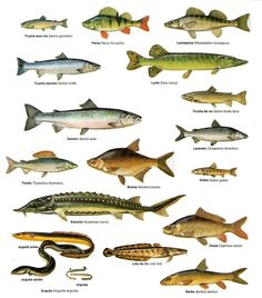 Different kinds of fish to eat images for Names of fish to eat