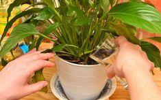 Cele mai bune îngrășăminte pentru plantele de interior - Iată care sunt cele mai eficiente îngrășăminte Gardening For Beginners, Gardening Tips, Plants Are Friends, Blooming Plants, Garden Care, Plant Needs, Farm Gardens, Easy Garden, Container Plants