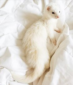 Beautiful white ferret. #cute #ferret #smallpet #white
