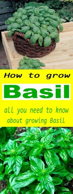 How to grow Basil - all you need to know about growing Basil