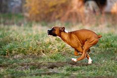 One paw on the ground. The Boxer - The Athlete