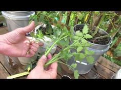 How to Easily Clone Tomatoes and Root Tomato Suckers - The Rusted Garden 2013
