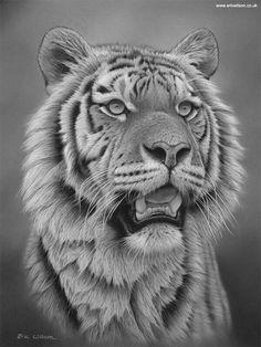 Tiger Sketch, Tiger Drawing, Tiger Artwork, Tiger Painting, Animal Sketches, Animal Drawings, Drawings Of Tigers, Beautiful Cats, Animals Beautiful