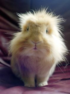 Long Haired Guinea Pig, so cute!