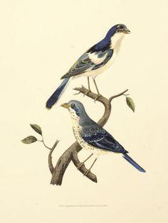 Google Afbeeldingen resultaat voor http://cache2.allpostersimages.com/p/LRG/22/2247/YJEZD00Z/poster/levaillon-vintage-bird-pair-i.jpg