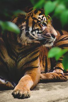 grafika tiger, animal, and nature Beautiful Cats, Animals Beautiful, Cute Baby Animals, Animals And Pets, Big Cats, Cute Cats, Gato Grande, Cat Species, Tier Fotos
