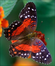 ~~butterfly  - [photo] by C Fredrikkson~~