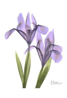 Purple Iris Art Print by Albert Koetsier at Art.com