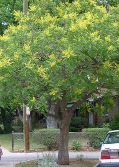 Golden raintree's beautiful yellow flowers give way to seed pods resembling small Chinese lanterns.