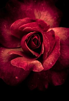 Rose – Meenu Mini – Google+