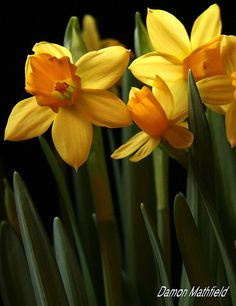 I would love to grow some daffodils in our garden; for my pepere
