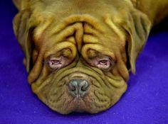 Sûr qu'à la fin de la journée tous ces chiens ressemblent à ce dogue de…