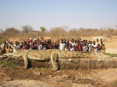 It takes a village to kill a croc this big!! 2,500lb crocodile caught in Africa just off the Niger River.