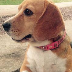 Beagle ❤️